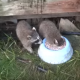 Енот пьет молоко, окунувшись с головой в миску