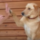 Собака играет в ладушки