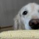 Собака обожает кукурузу