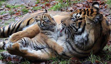 Тигрица играет со своими малышами