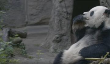 Эта панда – настоящий гурман