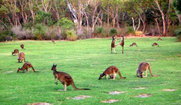 Стая кенгуру устроилась вдоль дороги!