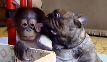 Бульдог поцеловал орангутанга
