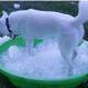 Как хаски реагирует на ледяную ванну?