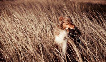 Собака просто обожает попрыгать по засеянному полю