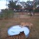 Бассейн с пеной для тигров