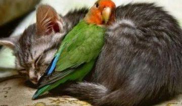 Смелые попугайчики раздражают кошек