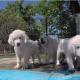 Эти милые щенки обожают плавать в бассейне