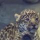 Очень милый малыш ягуара