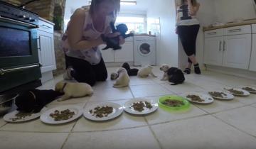 Малыши лабрадора завтракают