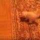 Трусишка испугался рисунка на ковре