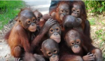 Посмотрите, как перевозят маленьких орангутангов