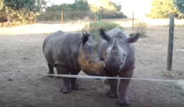 Вы когда нибудь слышали, какие звуки издает носорог?