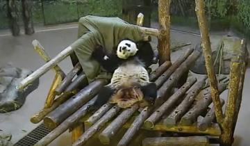 Панда нашла себе игрушку