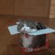 Мару пытается полностью залезть в коробку
