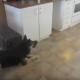 Пес испугался игрушечного тигра