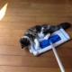 Вы когда-нибудь видели кошку–швабру?