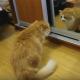 Кот шипит на свое отражение в зеркале