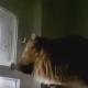 Посмотрите, этот кот наконец-то научился открывать форточку
