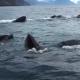Туристам посчастливилось увидеть стаю китов