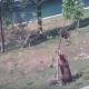Медведица пытается помочь непослушному малышу