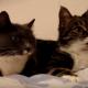 Интересный диалог двух кошек