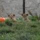 Милые львята с тыквами