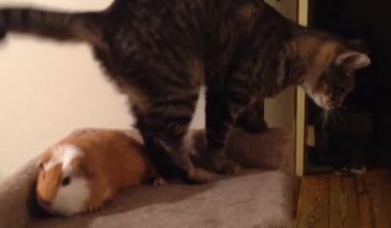 Котик пытается согнать морскую свинку с дивана