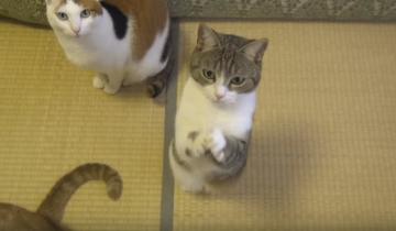 Кошка – попрошайка