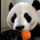 Как панда спасается от жары?