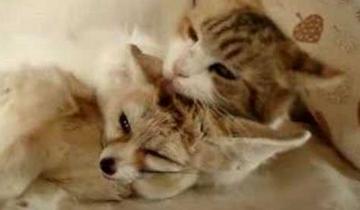Лисенок-фенек хочет поиграть кошкой