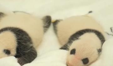 Малыши панды покоряют сердца пользователей Интернета