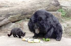 Кот ворует еду у медведя?