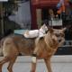 Вы только посмотрите, как этот пес тащит кота домой!