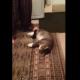 Ленивая кошка отказывается идти на прогулку