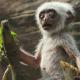 Как обезьяны отреагируют на смерть?