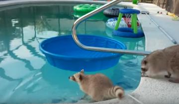 Еноты решили поплавать в бассейне