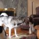 Собаки внезапно начали выть