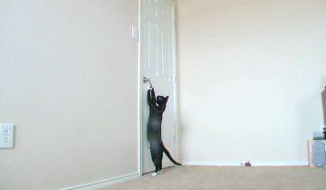 Этот кот – настоящий ас по открыванию дверей