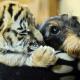 Вы только посмотрите на дружбу тигра и собаки