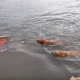 Плавание вместе с бандой ретриверов