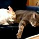 Кролик прикидывается котом