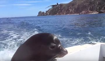 Тюленя кормят рыбкой