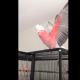 Самый радостный попугай в мире