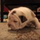 Первые шаги маленького щенка выглядят очень мило!