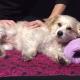 Собаке делают массаж