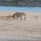 На слоненка напала стая львов, чем же это закончится?