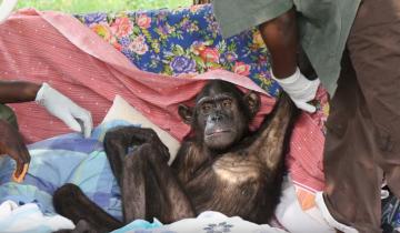 Благодарность за спасение от шимпанзе!