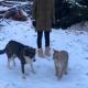 Удивительное знакомство рыси и собаки