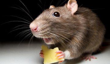 Вы только посмотрите, что вытворяет эта крыса?